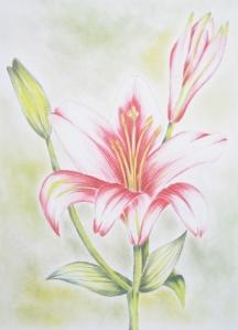 """""""Lilie"""" - Farbstiftzeichnung auf Zeichenkarton, 20 x 30 cm, (c) by Cordula Kerlikowski"""