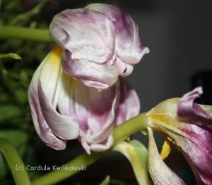 Verwelkende Tulpen, Foto (c) Cordula Kerlikowski