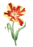 Tulpe rot-gelb (c) Cordula Kerlikowski